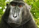 Copyright : Aucune protection pour le selfie d'un animal
