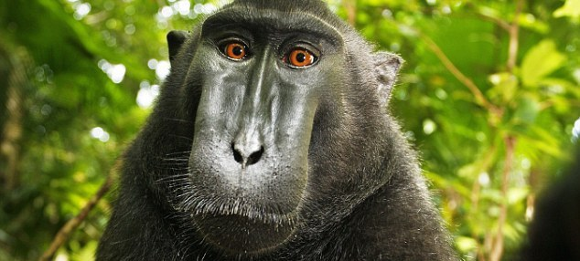 Photographie : Selfie du macaque à crête