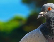 Google Pigeon : Déploiement au Royaume-Uni, Canada & Australie